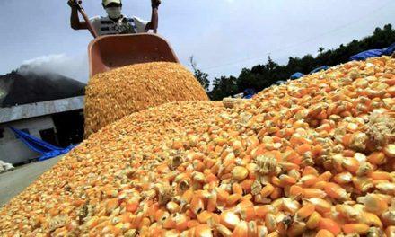 Proyectan una producción de 19 millones de toneladas de maíz en actual campaña