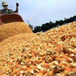 Finalizó la cosecha de maíz y superó por primera vez en 20 años a la producción de soja